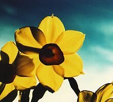 Jonquils5 by danno