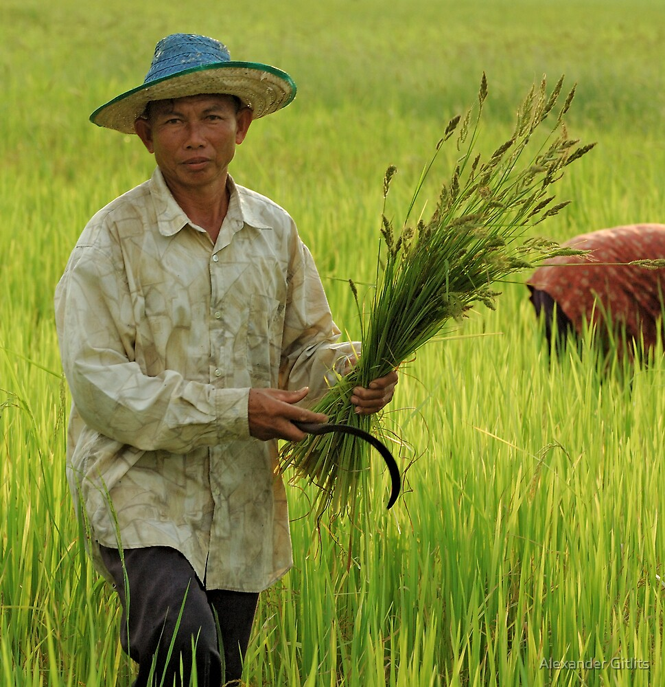 Thai Rice Farmers  by Alexander Gitlits
