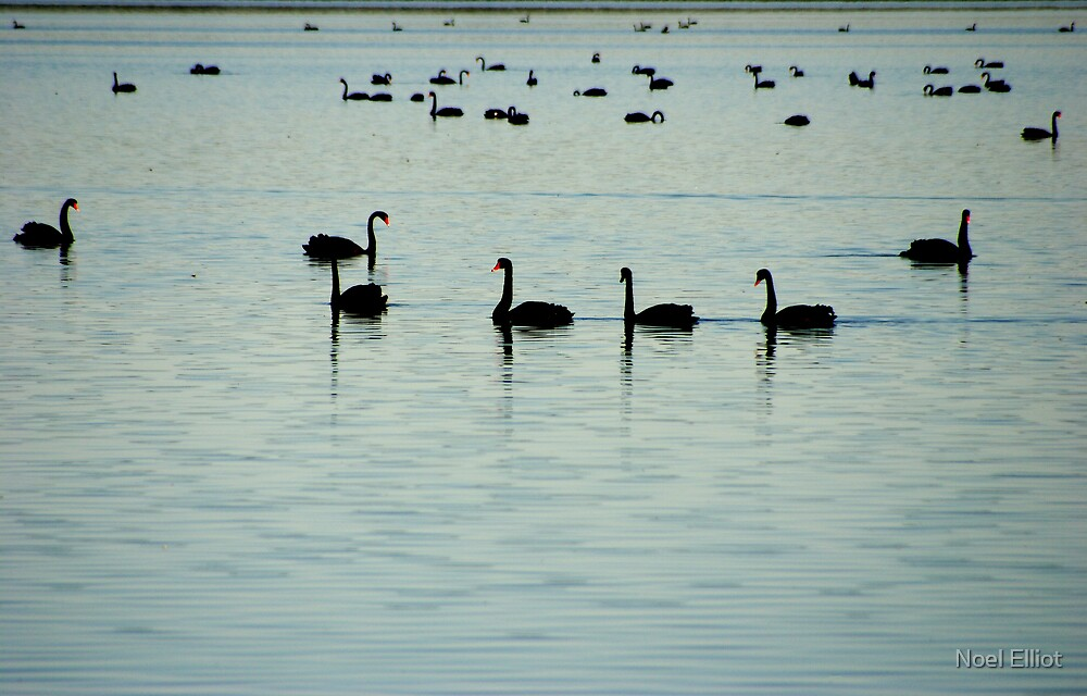 Swans - Lake Wollumboola by Noel Elliot