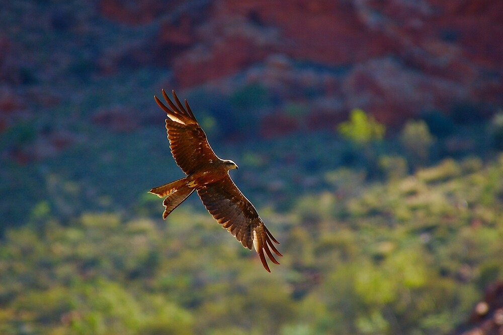 Brown falcon NT by matthew maguire