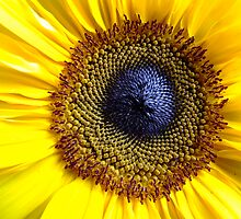 Eye of the Sunflower by Clare McClelland