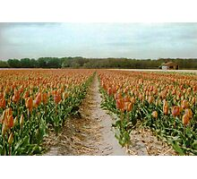 Dutch Tulips Fields Photographic Print