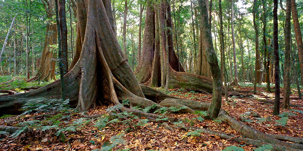 Rainforest trees by Bruce  Thomson