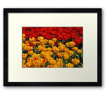 Mass of spring colour - Tulips in London Framed Print