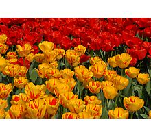 Mass of spring colour - Tulips in London Photographic Print