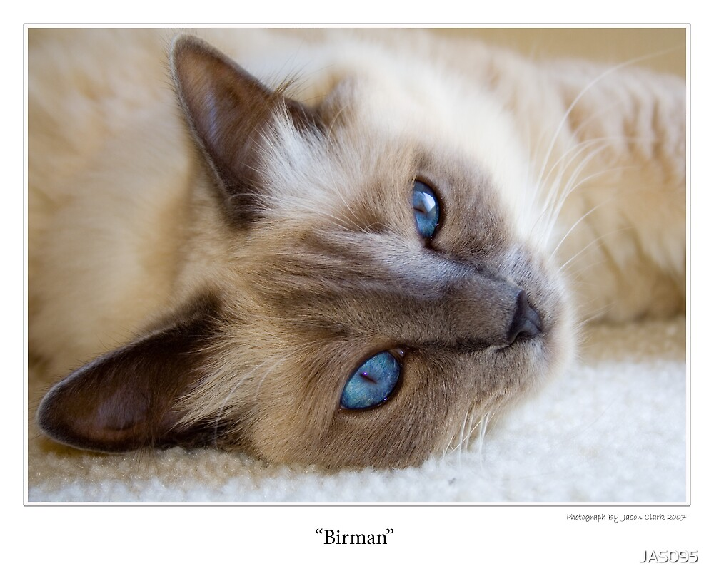 Birman  by JAS095