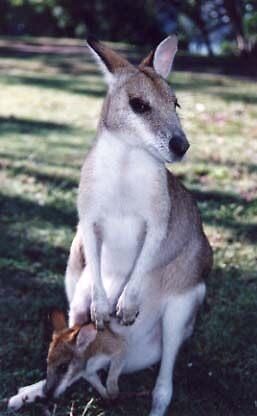 kangaroo&joey by lawrylove