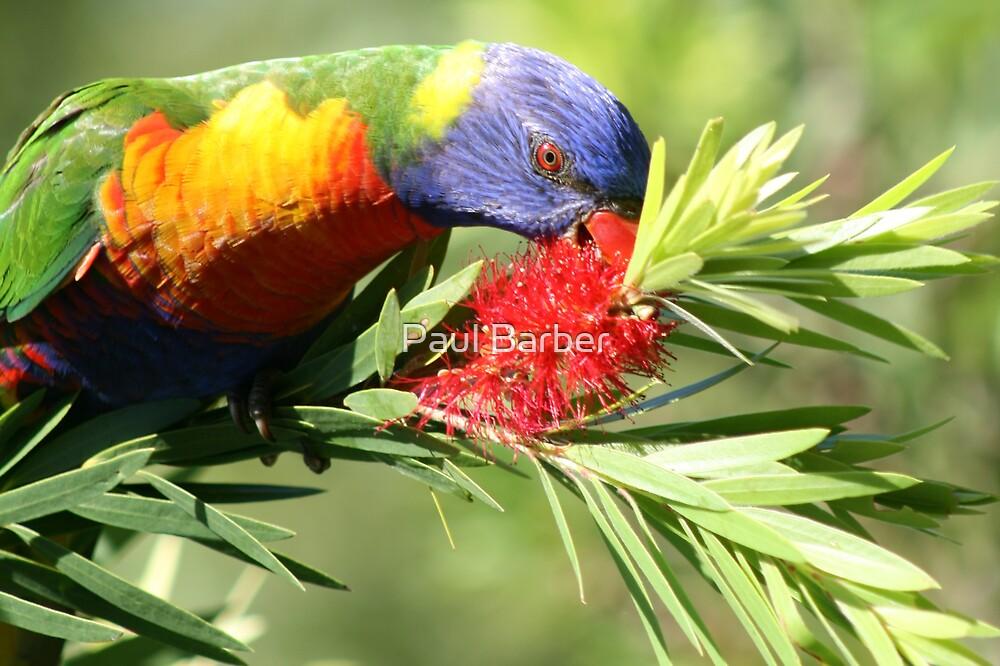 Hungry Rainbow Lorikeet by Paul Barber