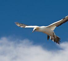 Gannet in flight by David Burren