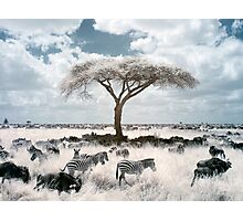 Infrared acacia Photographic Print