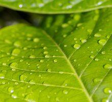 Rain on leaf by Douglas Stetner
