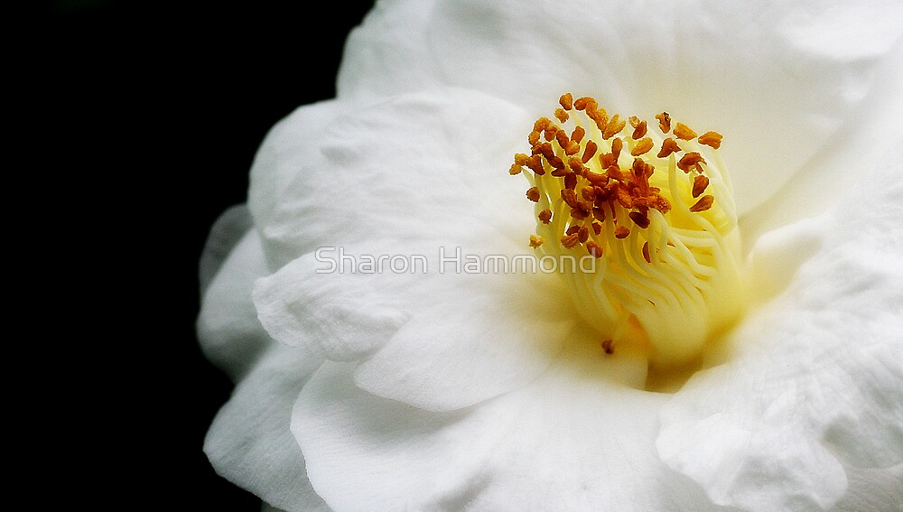 White by Sharon Hammond