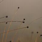 Button-grass in the rain by David Burren