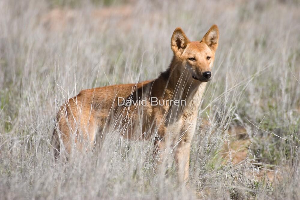 Dingo by David Burren