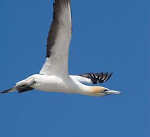 Gannet after take-off by David Burren
