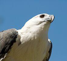 White Bellied Sea Eagle by Craig Goldsmith