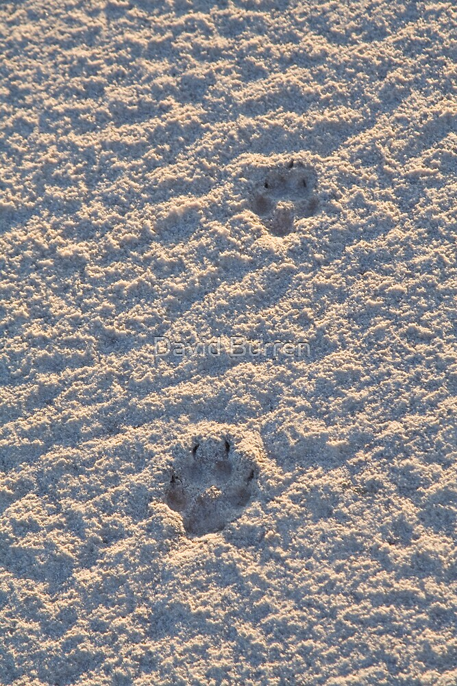 Dingo tracks in the salt by David Burren
