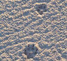 Dingo tracks in the salt by David Burren