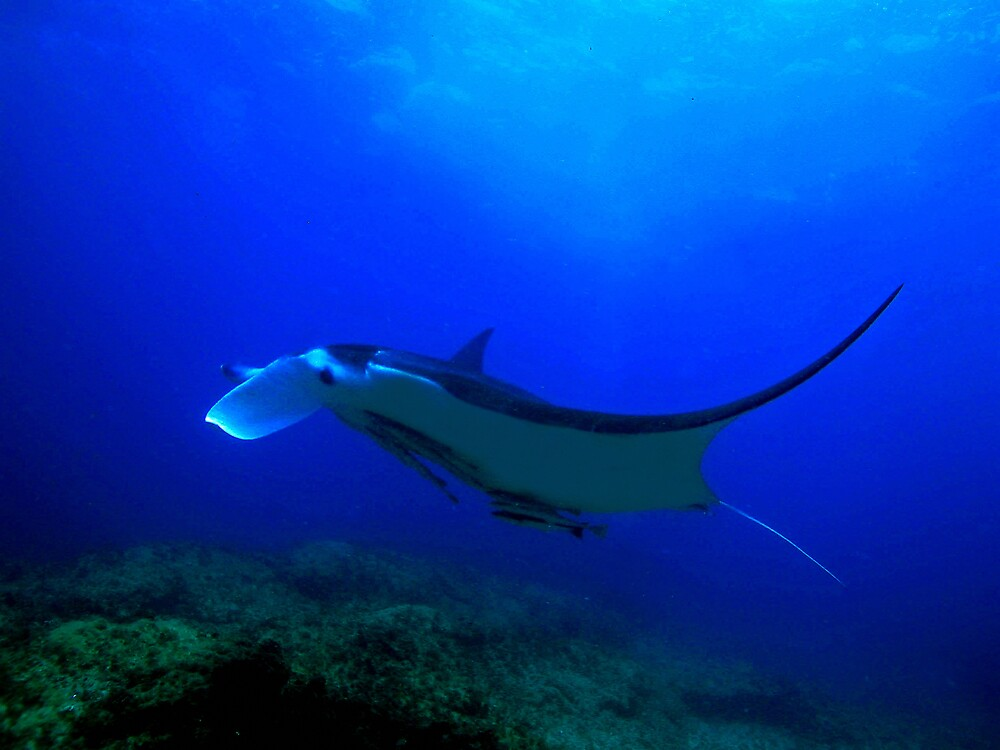 Manta Ray 1 by Grey
