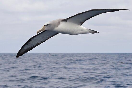 Buller's Albatross by David Burren