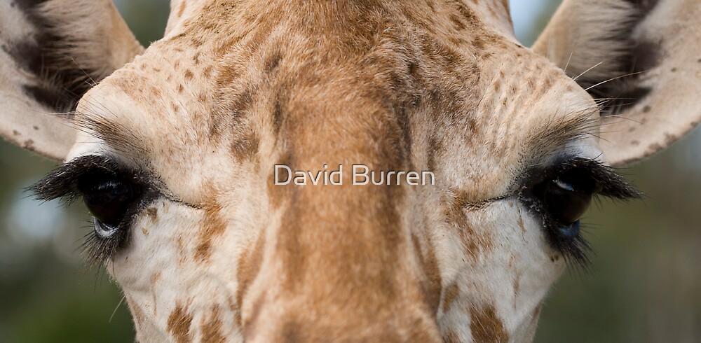 Giraffe stare by David Burren