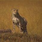 Cheetah, Awakened by dawesy