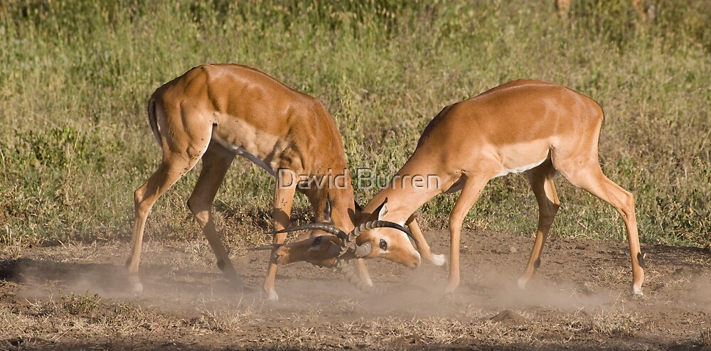 Impala scuffle by David Burren