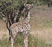 Baby Giraffe by David Burren