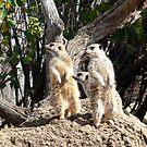 Meerkat Sentries #2 by Sandra Chung