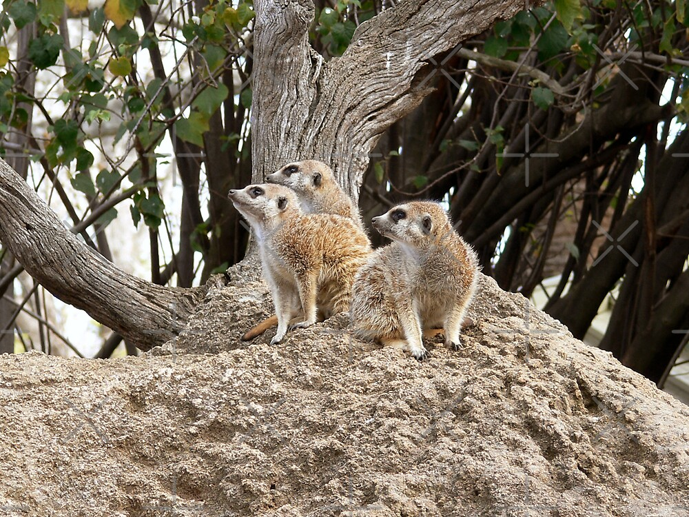 Meerkat Sentries by Sandra Chung