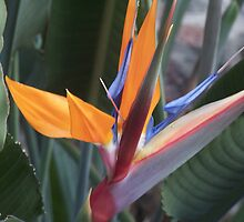 Bird of paradise* by Nikita