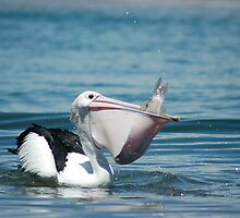 Pelicans supper by maromedia