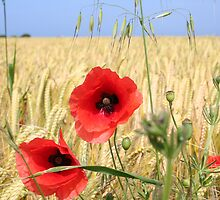 Normandy Poppies by noonkey
