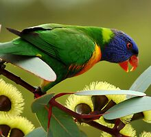 lorikeet by Katie101
