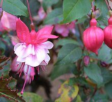 Fuchsia Snowcap by keong