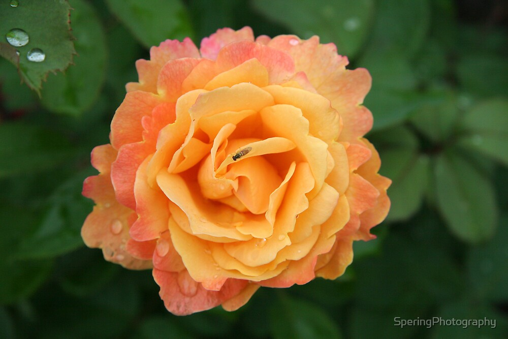 Flaming roserose by SperingPhotography