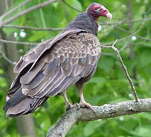 Turkey Vulture by SperingPhotography