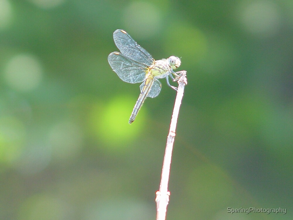 Dragonfly by SperingPhotography