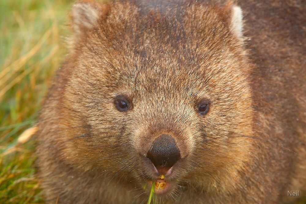 Wild Wombat by Neil
