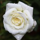 White Rose in the Rain by AnnDixon