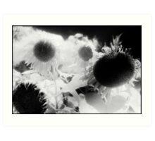 sunflowers 1 Art Print