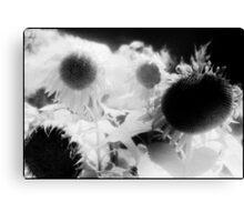 sunflowers 1 Canvas Print