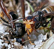 Wasps Black and Orange a 3 (c)(h), a moment of their life  by Olao-Olavia par Okaio Créations by okaio caillaud olivier