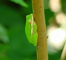 Green Tree Frog by Ryian