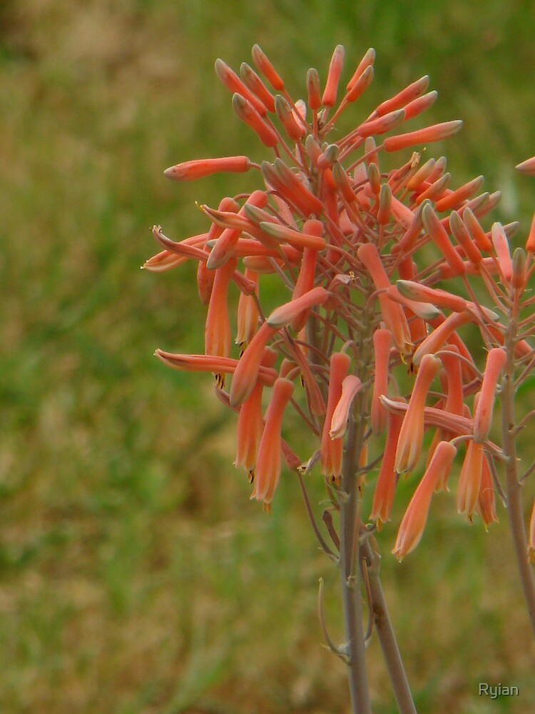 Aloe Blooms by Ryian