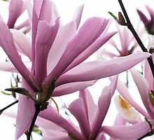 Magnolia by authentic