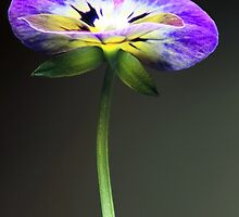 A study in Viola by MikeONeill