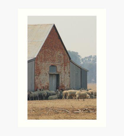 Ready For Shearing Rutherglen Victoria Art Print