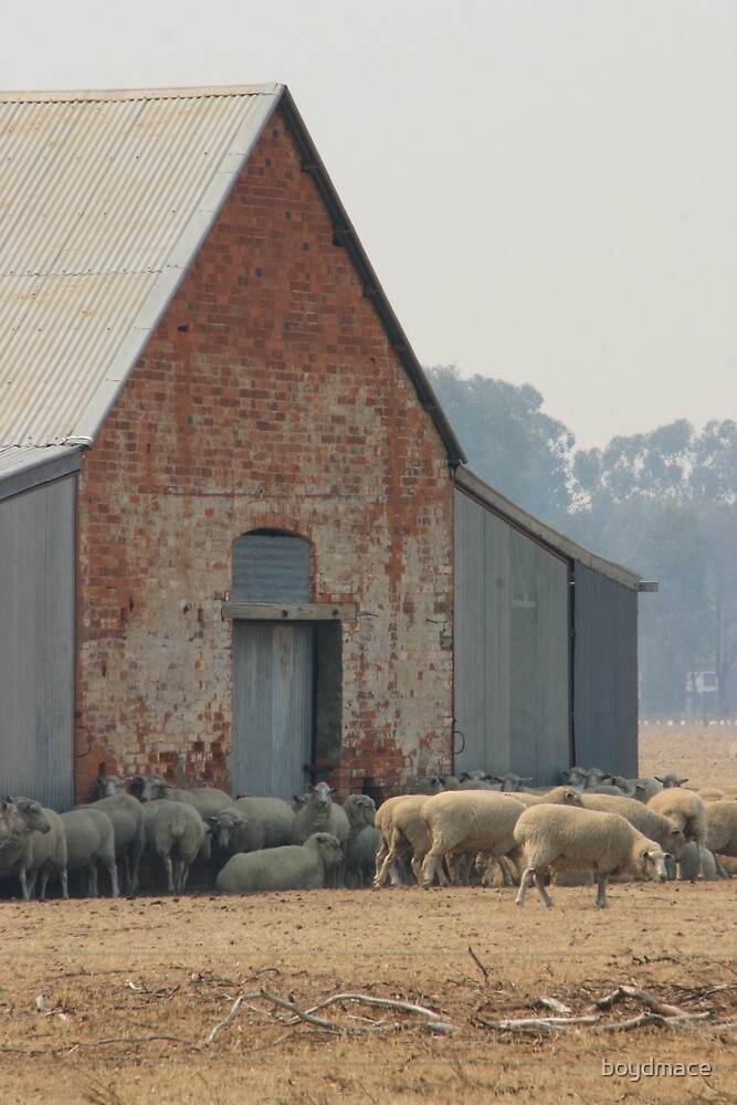 Ready For Shearing Rutherglen Victoria by boydmace