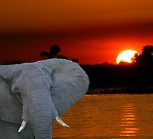 Elephant Sunset by boydmace